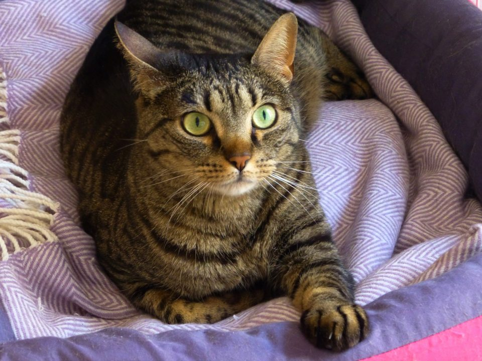 A tabby cat with green eyes is looking somewhere outside the frame from inside her cozy and colourful cat bed.