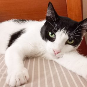 A black and white male cat looking for a home is lying on a bed and gazing at us
