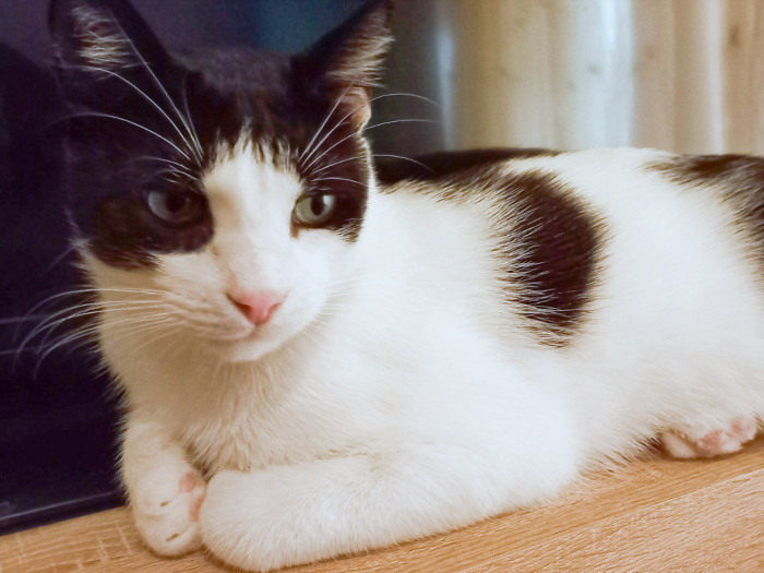 A black and white male cat looking for a home is lying on a table