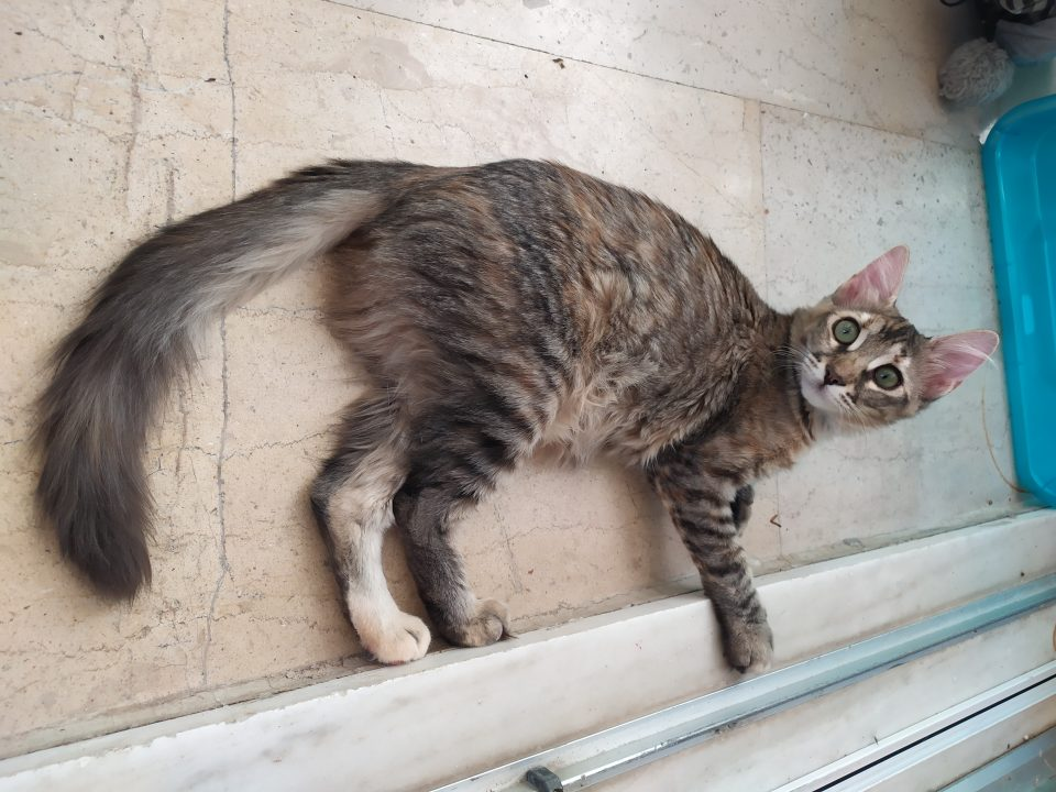 A long haired tabby with green eyes is lying on the balcony